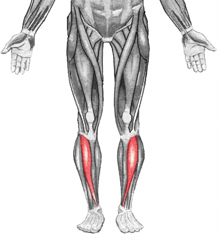 Tibialis Anterior Muscles Toxinmed